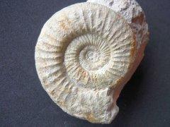 Orthosphinctes (Lithacosphinctes) pseudoachilles (Wegele 1929)