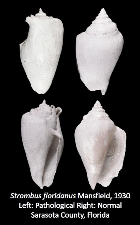 1854071055_PathologicalS.floridanus.jpg