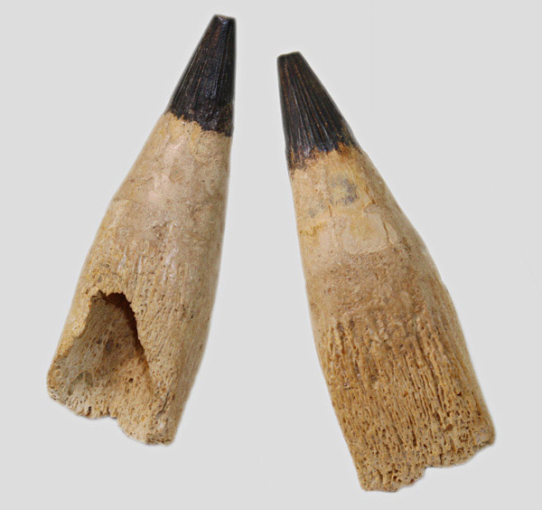 Platypterygius_tooth_with_root_1.jpg.49ee4f5dcb9f7c03f74141273d6418fd.jpg