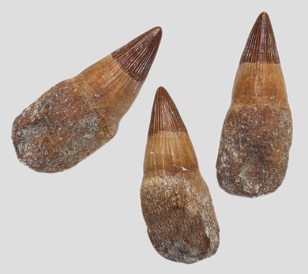 Platypterygius_tooth_with_root_2.jpg.e15904cae2b9e7403cd07ef4205796cc.jpg