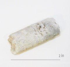 Ammonite Baculite Austin Chalk
