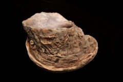 Fused Oysters