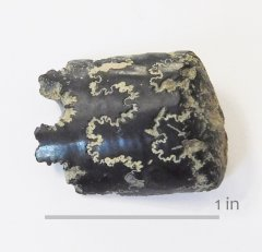 Ammonite Baculites NSR (2)