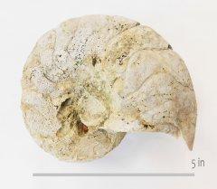 nautiloid cymatoceras hilli GTown