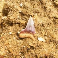 "Shark tooth ""in situ"""