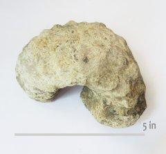 Ammonite Mariella brazoensis  GTown