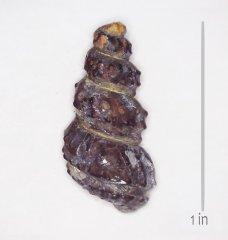 Ammonite Mariella worthensis Del Rio