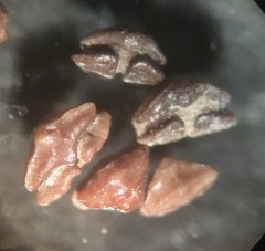 Ptychotrygon sp. Oral teeth