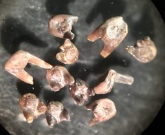 Barbclabornia luederensis
