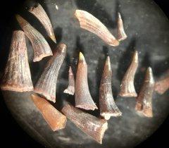 Progyrolepis sp. fish teeth