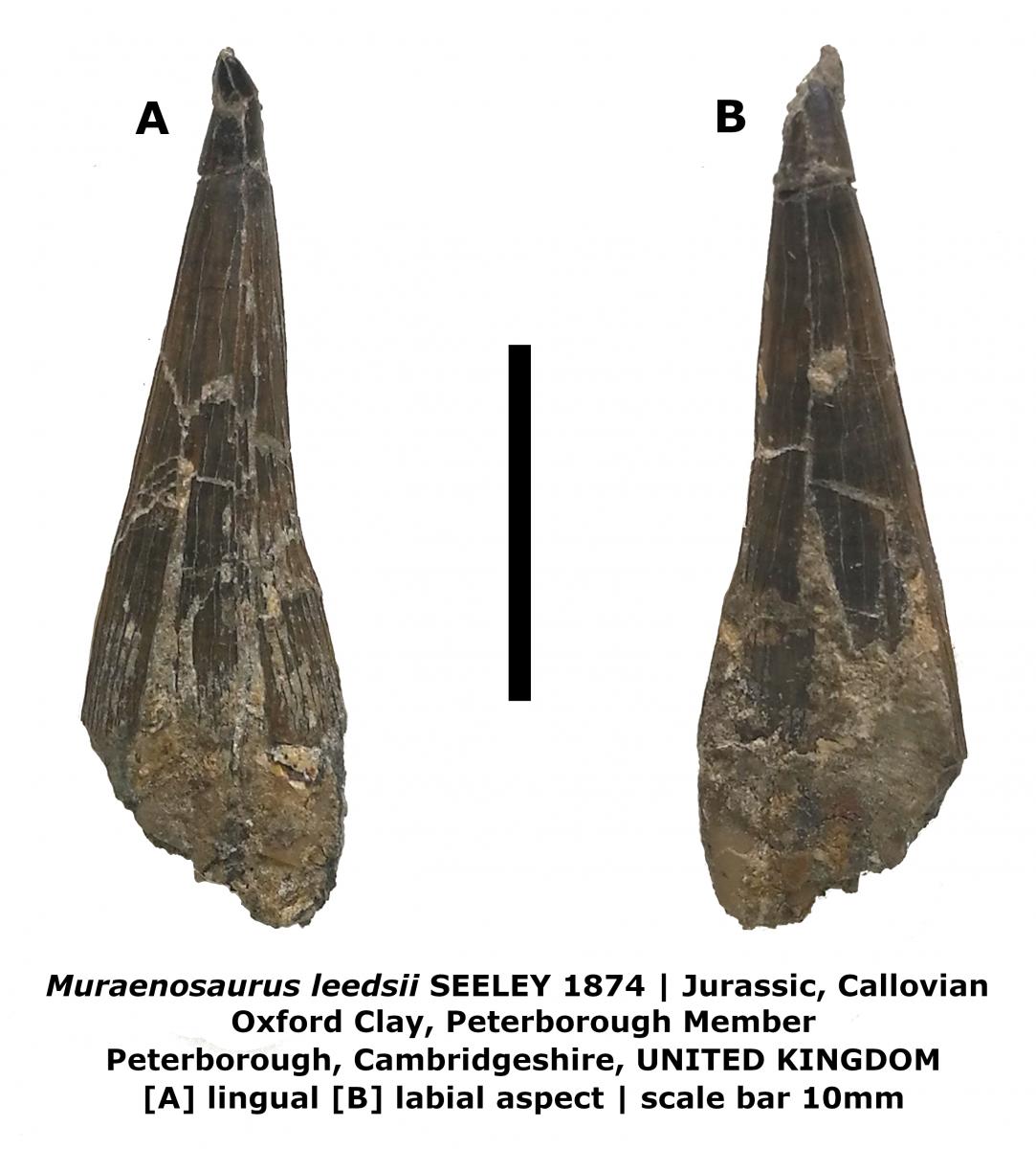 Muraenosaurus leedsii