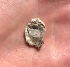 Gryphaeostrea vomer