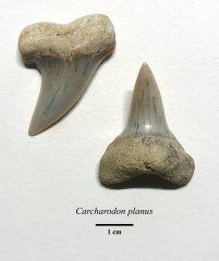 Carcharodon planus