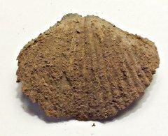 Spiriferid Brachiopod from Glenerie