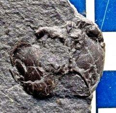 Echinocaris punctata Phyllocarid