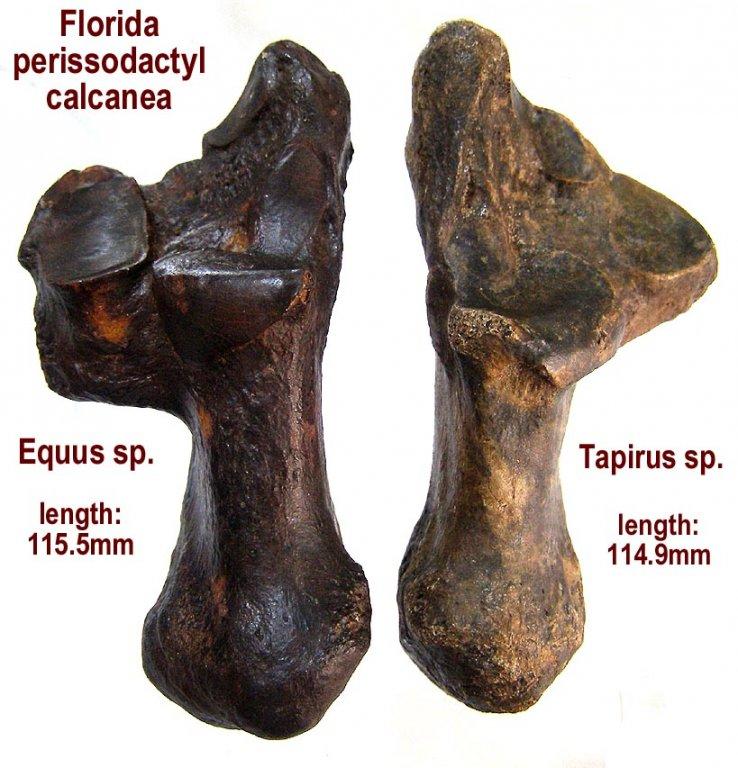 calcanea_horse_tapirC.JPG