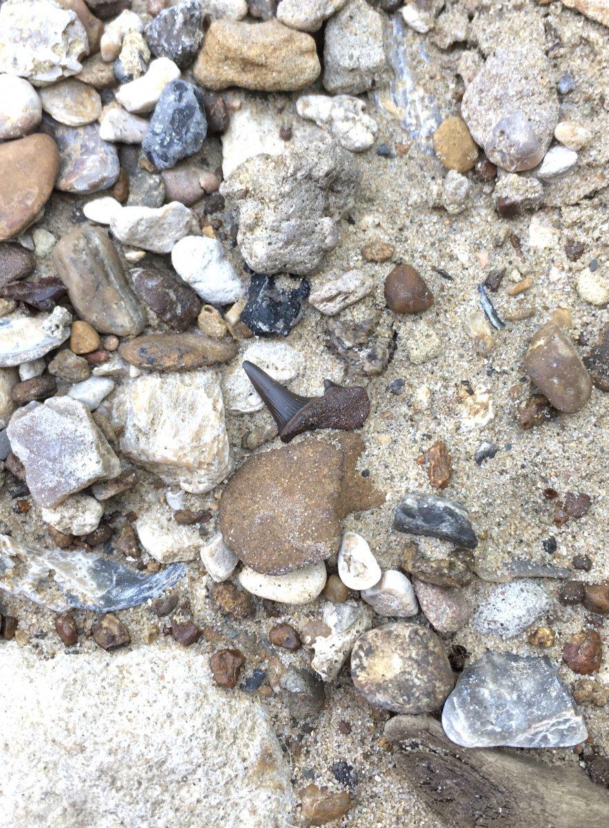 Scapanorhynchus in situ