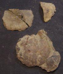 Strophonelloides sp