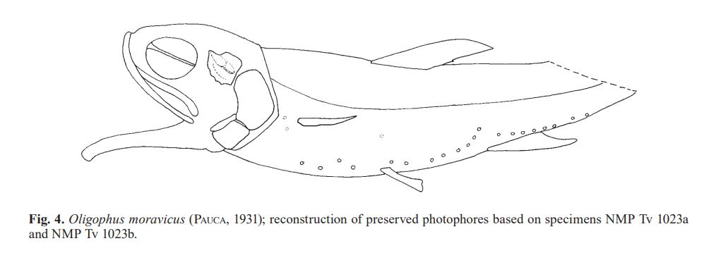 Oligophus moravicus line drawing