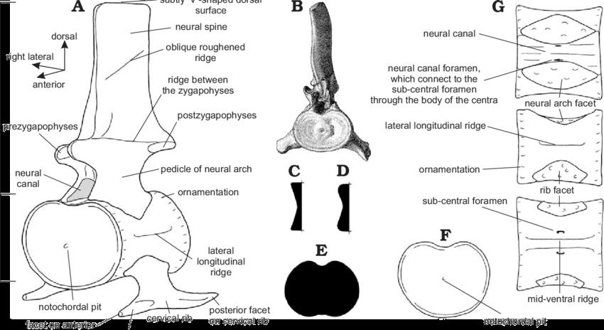 Cervical-vertebrae-and-cervical-centra-of-plesiosaurs-A-Generalized-plesiosaur-cervical.png.e9aff66e4f5aecba20b709353c175fa9.png