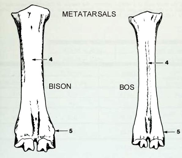 bison_bos_metatarsals_dorsal.JPG.27e71817de9ab0091e4cda86d1513f30.JPG