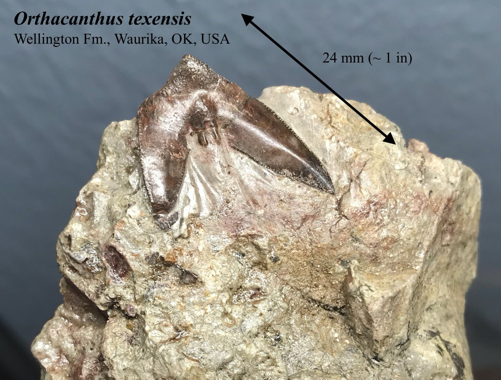 Orthacanthus texensis