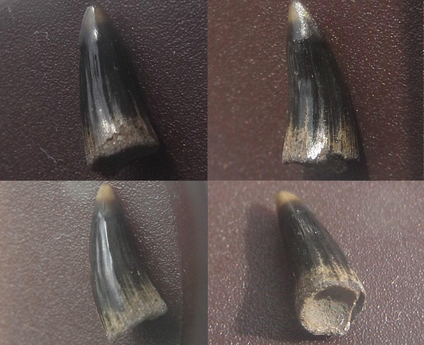 Bony fish tooth