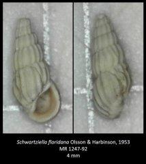 Schwartziella floridana