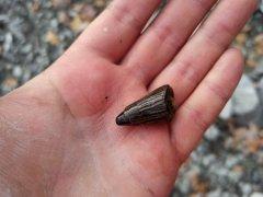 Pliosaur tooth