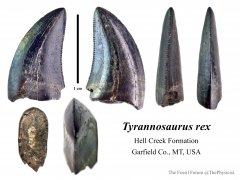 Juvenile Tyrannosaurus rex (2)