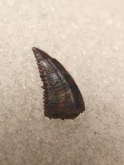 Pectinodon tooth