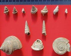Peski gastropod variety