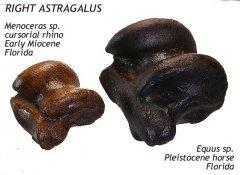 rhino - equus astragalus compared B
