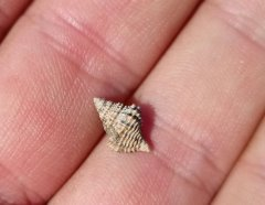 Gerasimovcyclus gastropod, Peski