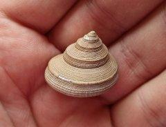 Bathrotomaria gastropod, Peski