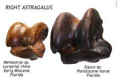 Rhino - Equus astragalus compared A