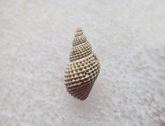 Maturifusus gastropod, Peski