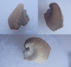 Partial Trigonopis