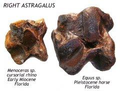 rhino - equus astragalus compared C