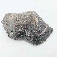 Spinocyrtia granulosa pedicle valve