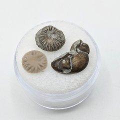 Button corals and Trilobite cephalon