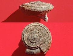Obornella gastropod, Peski