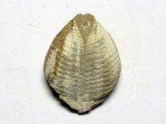 Hippocardia cunea (Conrad 1840)