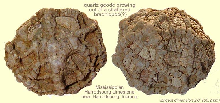 geodebrachiopod.jpg