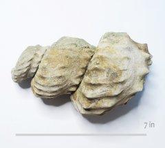 Ammonite Mariella brazoensis