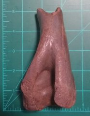 Bison Distal Humerus?--Back View Measurement