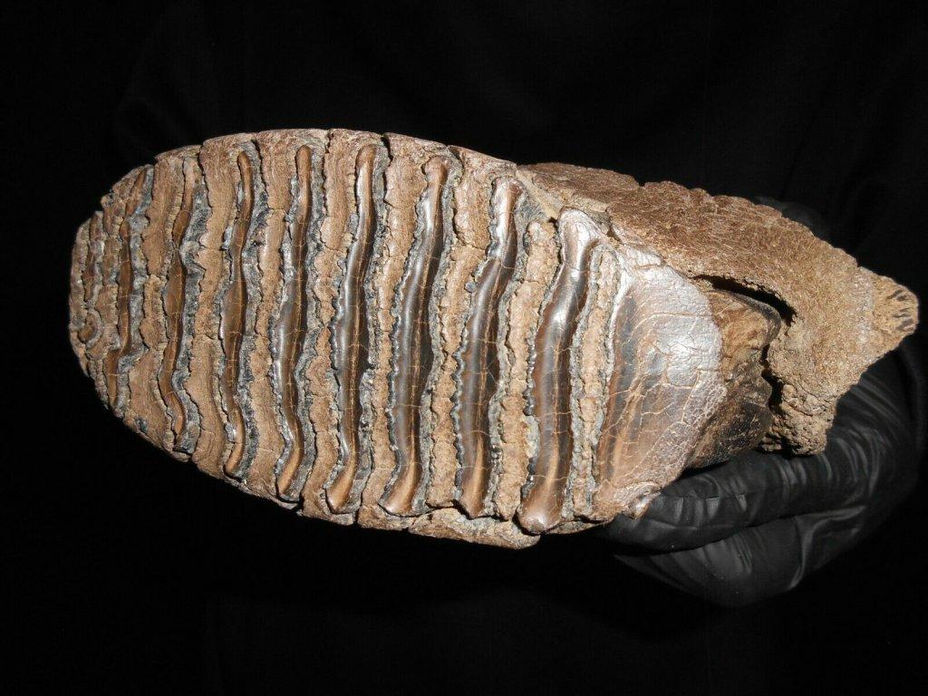 Mammoth tooth Occ surface.jpg