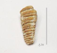 Gastropod Nerinea ikinsi
