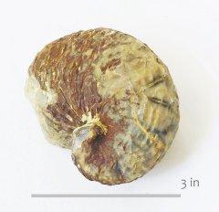 Oyster Exogyra erraticostata