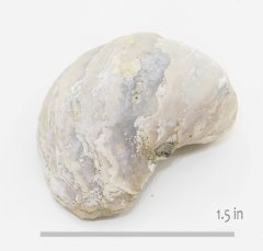 Oyster Pycnodont aucella